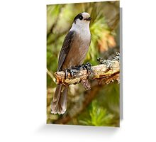 Gray Jay -  Algonquin Park, Ontario - 3 Greeting Card