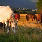 Early morning grazing by EUNAN SWEENEY