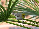 Verdin ~ Adult by Kimberly Chadwick