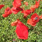 Poppies in the Wind by Sherry Freeman