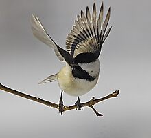 Carolina Chickadee by Michele Conner