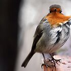 Wind-swept robin. by kkimi88