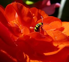 sun on an orange begonia by tego53
