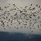 Snow Geese by Olga Zvereva