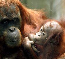 Mum and bubs (sucking her thumb), Orangutan. by kkimi88