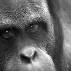 My history, in your eyes. Orangutan, black and white by kkimi88