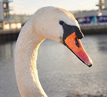 Curious Swan by Alex Hardie