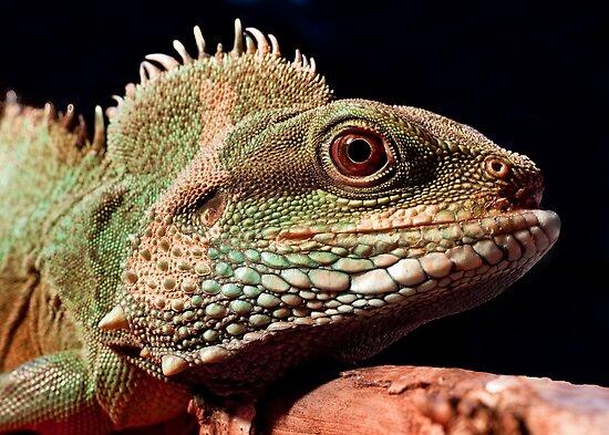 Chinese water dragon by Shaun Whiteman