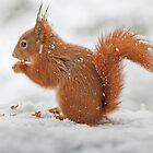 Red squirrel in snow by lepreskil