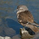 Female Mandarin Duck by Geoff Stone