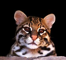 Ocelot - Sonoran Desert Museum in Tucson, Arizona by John Absher