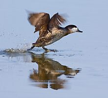 011610 Ruddy Duck by Marvin Collins