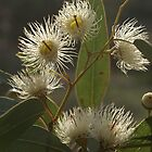 White Flowering Gum blossom by BronReid