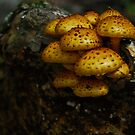 Pholiota by RonSparks