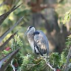 Great Blue Heron by floridan