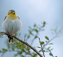 American Goldfinch in its Winter Coat by Bonnie T.  Barry