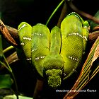 Emerald Tree Boa - Melbourne Zoo Series by dazzleng