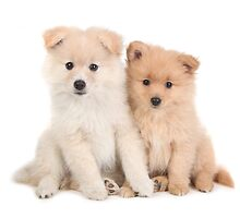 Cuddly Newborn Pomeranian Puppies by Katrina Brown