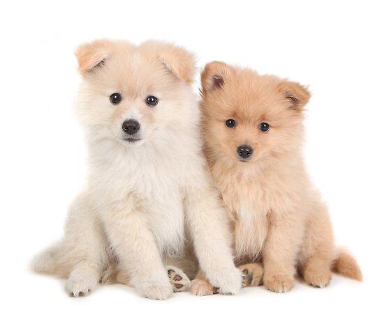 go back gt gallery for gt newborn pomchi puppies