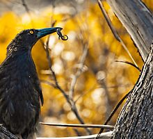 Black Currawong  by Arek Rainczuk