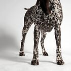 German Shorthair Pointer 2 by mccartney