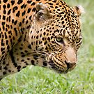 Close-up of Leopard in the Moholoholo Animal Rehabilitation Centre in Mpumalanga South Africa by Aldi221