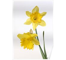 two yellow daffodils Poster