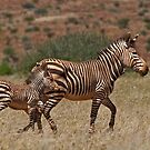 Mountain Zebra - Cape Race (Equus zebra) by Konstantinos Arvanitopoulos