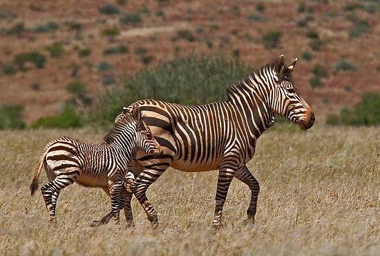 Mountain Zebra - Cape Race (Equus zebra) by Konstantinos Arvanitopoulos