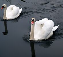 White swans, black water by Richard Waldron