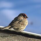 Finch on a Roof by janetmarston
