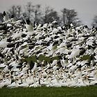 Snow Geese of Skagit Valley by Olga Zvereva