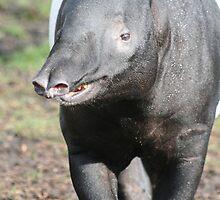 Tapir in London Zoo by ellismorleyphto