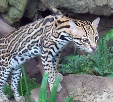 Speedy Ocelot by andrew82984