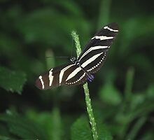 Zebra Longwing by deb cole