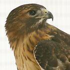 Broadwinged Hawk in Captivity by Margie Avellino