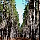 After the First Cut - Pine Forest by rd Erickson