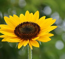 Soaking it up! Sunflower in perfect bloom, La Mirada, CA USA by leih2008