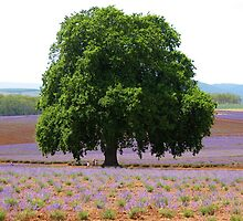 1880 Oak tree, Bridestowe lavender farm. by missjanem111