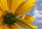 Underneath the Mexican Sunflower by AuntDot
