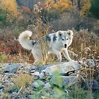 Young Wolf by Asoka