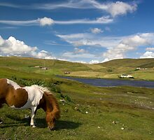 Shetland Summer Grazing by Theresa Elvin