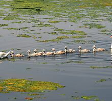 Swan Family Outing by Roantrum