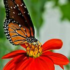 Monarch Butterfly by Gertmint