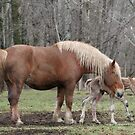 Belgian Mare Helps Her Newborn with First Steps by livinginoz