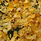 Autumn Ginkgo leaves Victoria Australia by Sevenm2