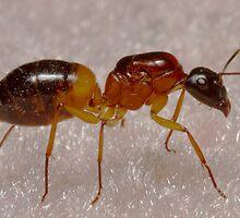 Queen Ant by Colin  Ewington