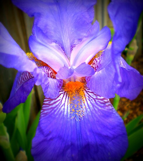 Purple face - Iris in neighbour's garden, Spring 2009 by EdsMum