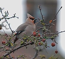 A Waxwing by dougie1page2