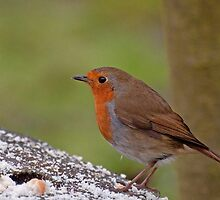 Robin by suffolkwildlife